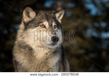 Grey Wolf (canis Lupus) Head Against Dark Background - Captive Animal