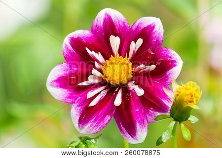 Close-up Of A Beautiful Purple Dahlia Pooh (asteraceae) Flower In The Light Of The Morning Sun.  Vie