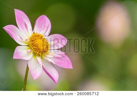 Portrait Of A Beautiful Pink And White Colored Flowering Dahlie Pooh (asteraceae) Flower In The Late