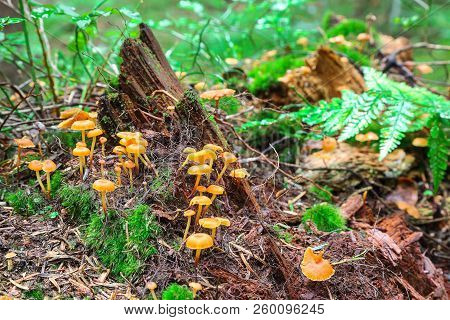Mushrooms And Moss Attached To A Cut Tree Stump. Mushroom Colony On The Old Stump