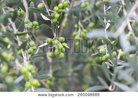 Olive trees in fog morning. Olive trees garden. Mediterranean olive field ready for harvest. Italian olive's grove with ripe fresh olives. Fresh olives. Olive farm.