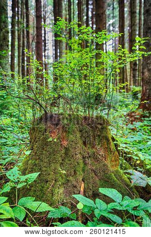 Old, Mossy Tree Stump In Green, Sunlit Forrest Floor. Large Tree Stump In Summer Forest. Young Bilbe