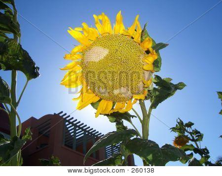 Sunflower Ahead Sun