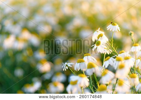 Summer Natural Background Field Of Chamomiles. Blurred Bokeh Wildflower Meadow, Flower Meadow,