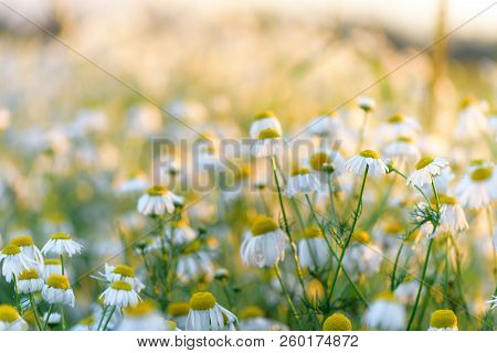 Summer Natural Background Field Of Chamomiles. Blurred Bokeh Wildflower Meadow.