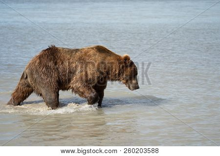 Coastal Alaska Grizzly Brown Bear Wanders Along The River, Looking And Fishing For Salmon In Katmai