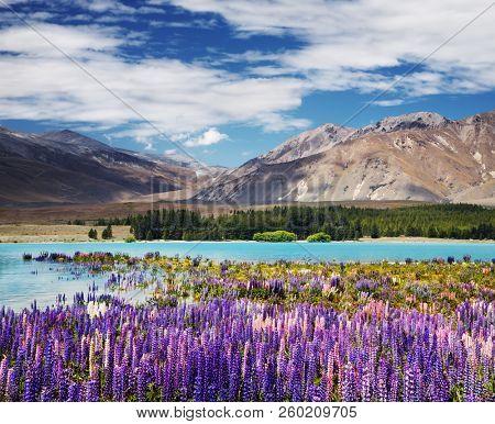 Mountain landscape with flowering lupins, lake Tekapo, New Zealand