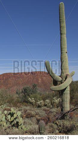 Saguaros In The Desert Arizona Mountains And Saguaros