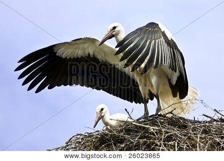 Stork flying away