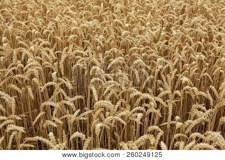 Ripe wheat field. Background texture.