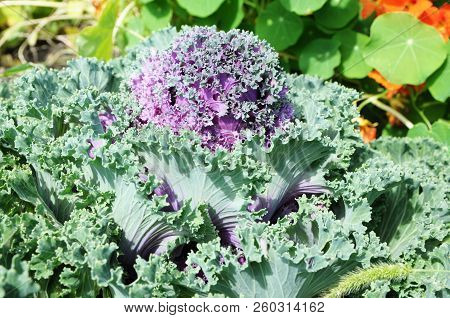 Decorative Pink, Green Cabbage Brassica Oleracea.  Flower Background Vividly Bright Blossoming Flush