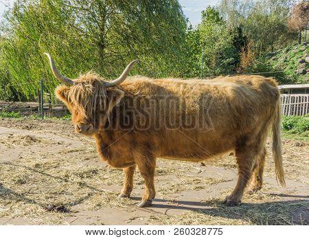 Close Up Animal Portrait Of A Standing Horned Scottish Highlander Cow
