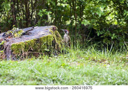 European Green Woodpecker Sitting In A Green Meadow, European Green Woodpecker