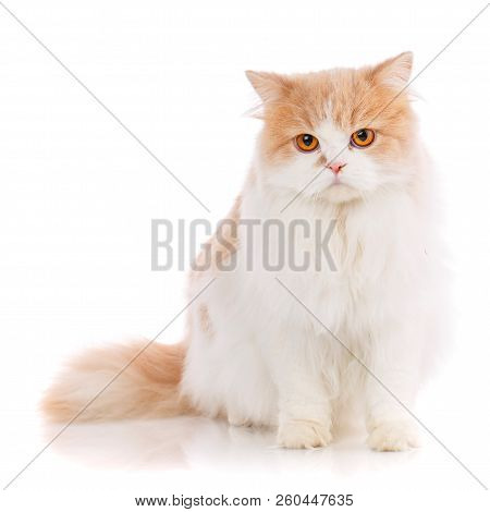 Pets, Animals And Cats Concept - Purebred Scottish Cat On A White Background