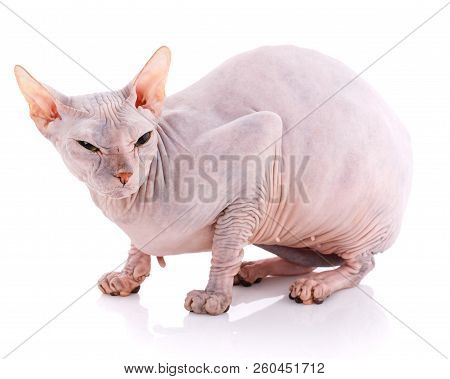 Animal, Cat And Sphinx Concept - Bald Sphinx Cat On White,