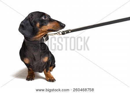 Cute Dachshund Dog, Black And Tan, Waiting And Begging To Go For A Walk With Owner,   Pull The Leash