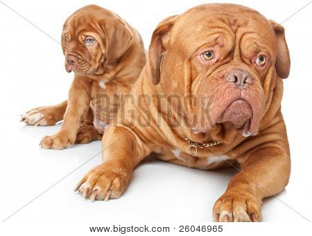 Puppy and dog of Dogue de Bordeaux (French mastiff). Isolated on white background poster