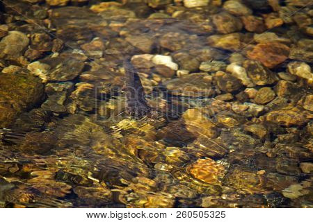 Brook Trout In Crystal Clear Waters Looking At Fly On Water Surface