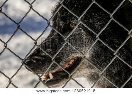 Wolf in captivity