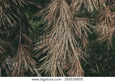 Pine branch. Yellow pine branch. Dry pine tree. Pine tree. Grunge tree. Grunge nature background. Grunge pine tree.