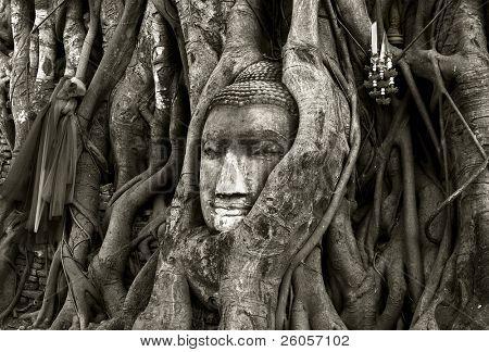 stone budda head traped in the tree roots ayttaya thailand