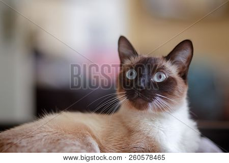 Young, Female Siamese Cat, Indoors With Blue Eye Wide Open And Alert Ears