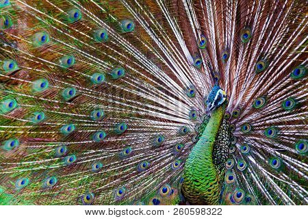 Portrait of wild male peacock with fanned colorful train. Green Asiatic peafowl display tail with blue and gold iridescent feather. Natural eyespots plumage pattern, exotic tropical birds background. poster
