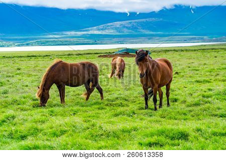 Icelandic Horses Grazing In The Pasture In Summer Cloudy Day In Iceland