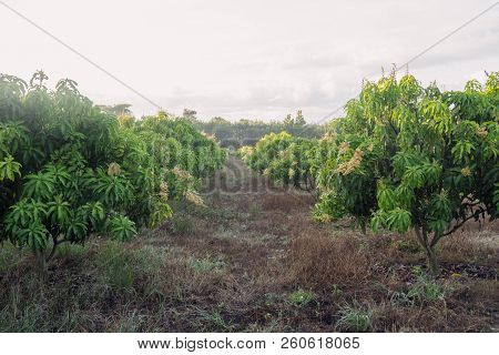 Mango Field Of A Flowering In Tropical Country. Agricultural Concept