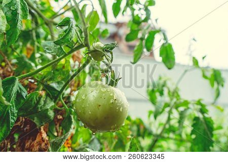 Unripe green tomatoes growing on the branch in the garden. Tomatoes in the greenhouse with the green fruits. The green tomatoes on a branch. poster