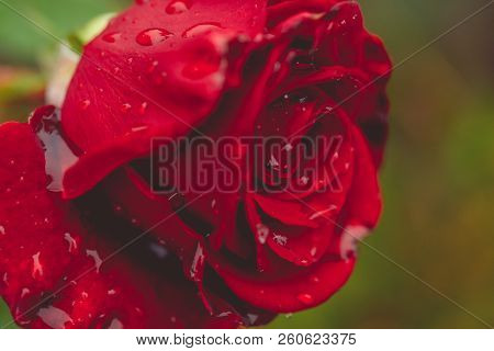 Close Up Of Beautiful Red Rose On Green Branch With Water Drops. Red Rose With Bud On Garden. Artist
