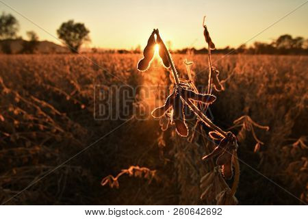 Mature Soybean Pods, Back-lit By Evening Sun. Soy Agriculture