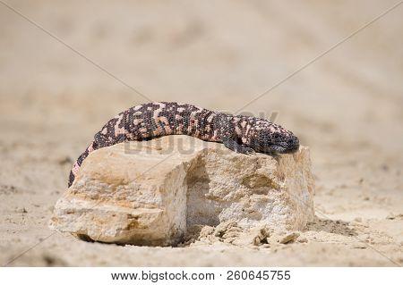A venomous lizard - Gila monster, Heloderma suspectum, in defensive posture ready to bite( Heloderma suspectum) south america poster