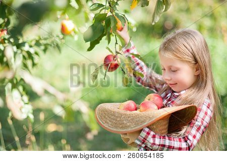 Girl With Apple In The Apple Orchard. Beautiful Girl Eating Organic Apple In The Orchard. Harvest Co