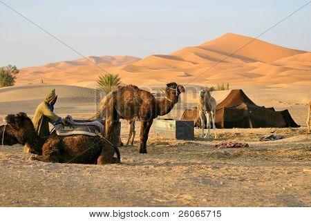 Resting camels in desert oasis - Morocco