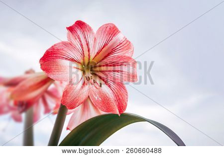 Amaryllis Flowers. Red Large Amaryllis Flowers Against Cloudy Sky With Copy Space