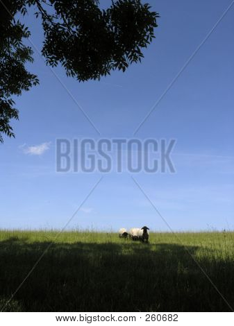 useful background image with blue sky and dark foreground areas that could be used for text overlay. a lovely summers day in norfolk with curious sheep. poster