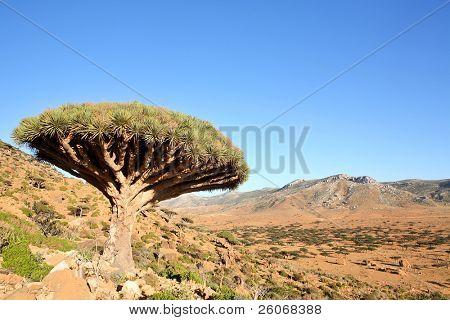 Dragon tree - Dracaena cinnabari - Dragon's blood - endemic tree from Soqotra, Yemen poster