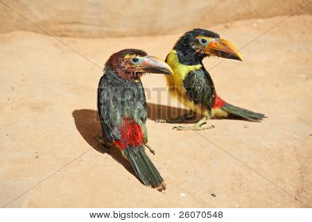 Pair of toucan chicks - friends
