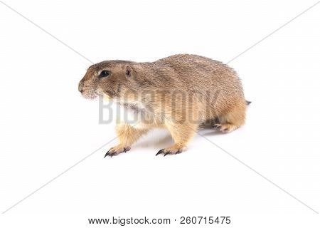Sideview Of Prairie Dog Walking On White Background.