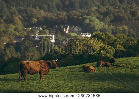 Scottish Highland Cows, Bull, Female And Young In Field