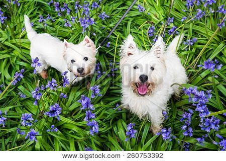 Dogs In Spring Flowers: West Highland Terrier Westies In Bluebells At Rolands Wood Dog Park, Keriker