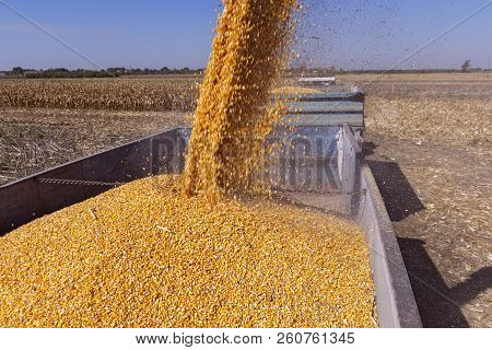 Corn Falling From Combine Harvester Auger Into Grain Cart. Unloading Auger In Action.