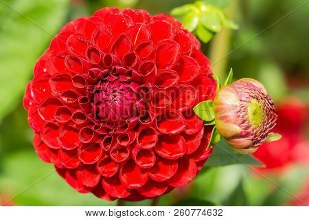 Close-up Of A Beautiful Red Ball Dahlia Flower (asteraceae) In The Light Of The Morning Sun.  View T