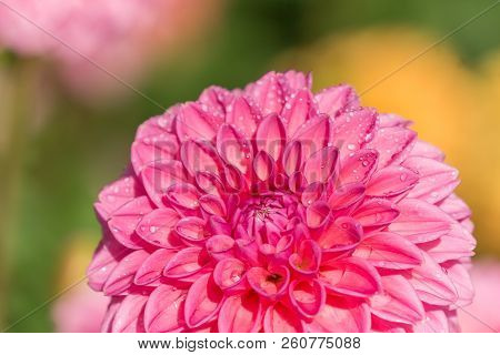 Close-up Of A Beautiful Pink Ball Dahlia Flower (asteraceae) In The Light Of The Morning Sun.  View