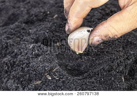 Old Age Woman Hand Planting Seed Garlic In Potting Soils For Family Garden
