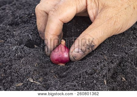 Old Age Woman Hand Planting Seed Shallot In Potting Soils For Family Garden