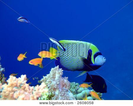 Tropical Fish Angelfish