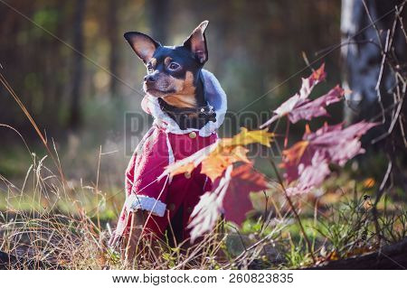 Dog, A Toy Terrier, A Stylishly Dressed Little Dog In A Sweater And A Sheepskin Coat, Against The Ba
