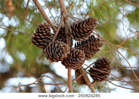 Dry Fully Open Brown Pine Cones Or Cones Or Conifer Cones On Multiple Branches With Small Dried Pine